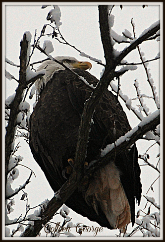 Eagle in Snowy Tree Canning, Nova Scotia Canada