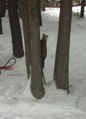 Marten in the wild Westree, Ontario Canada