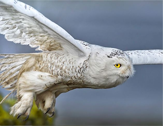 Snowy Owl takes off Delta, British Columbia Canada