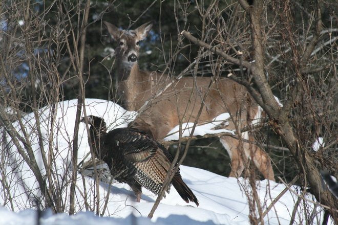 Deer and turkey hanging out in -34° weather Severn Bridge, Ontario Canada