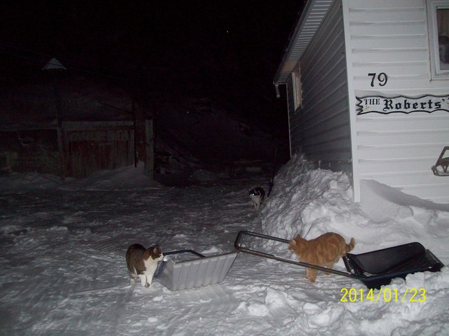 cats helping clean snow Twillingate, Newfoundland and Labrador Canada