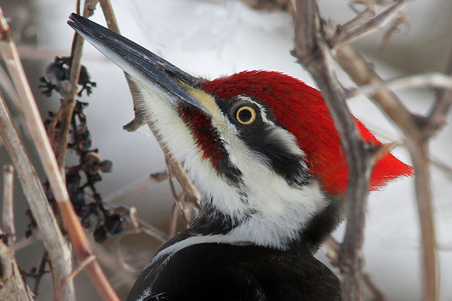 Pileated Woodpecker - up close and personal Rockport, Ontario Canada
