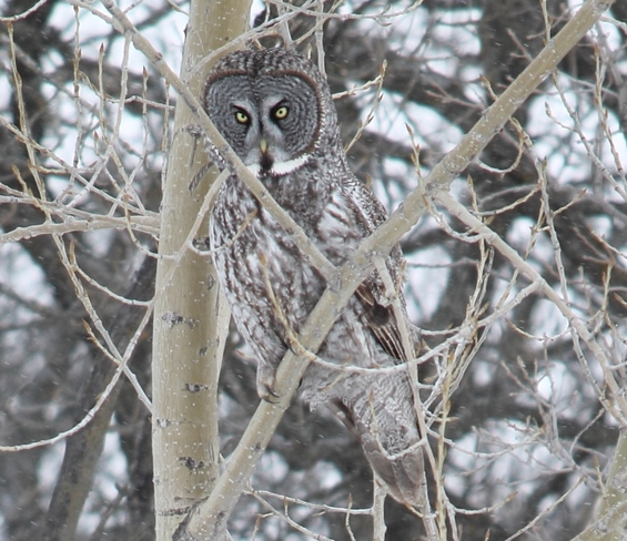 Great Gray Owl MacDonald, Manitoba Canada