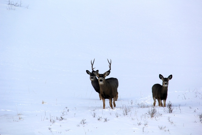 Beautiful Mule Deer Strathmore, Alberta Canada