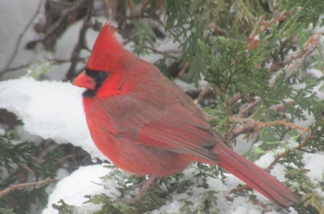 beautiful cardinal Sussex, New Brunswick Canada