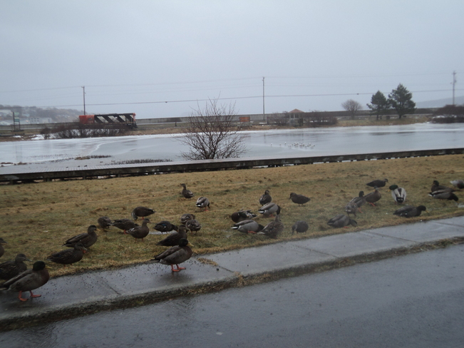 The ducks & gulls trying to survive Carbonear, Newfoundland and Labrador Canada