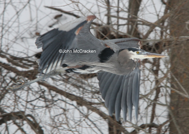 Great Blue Heron in Flight! London, Ontario Canada
