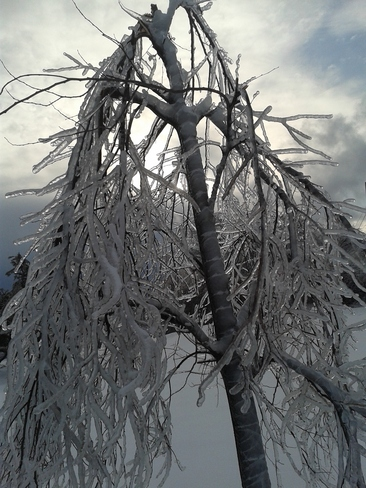 Ghostly Tree in Ice Kingston, Ontario Canada