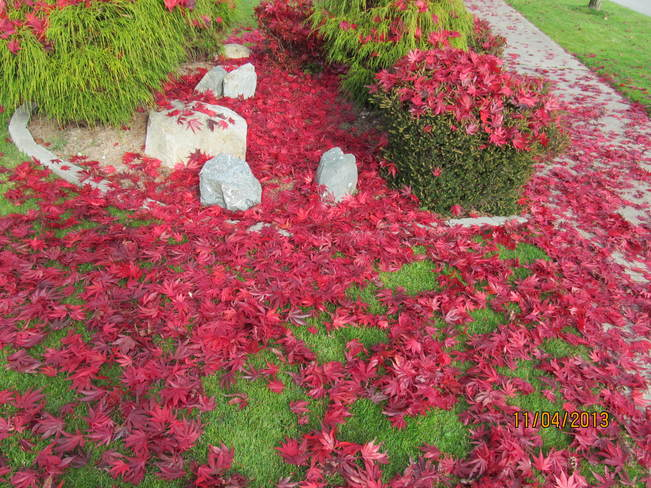 Our red tree is shedding Cloverdale, British Columbia Canada