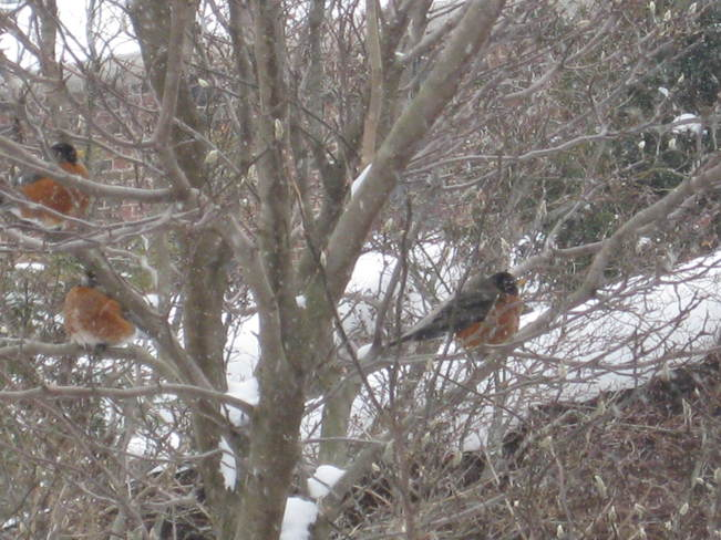 3 january robins London, Ontario Canada