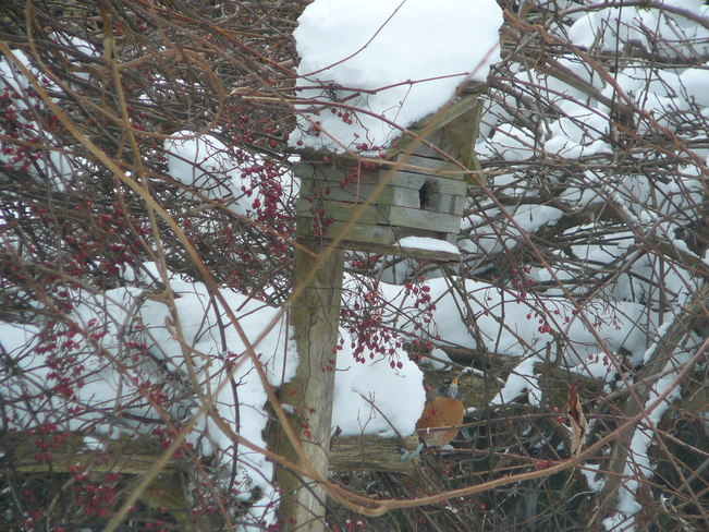 The Robins are back Goderich, Ontario Canada