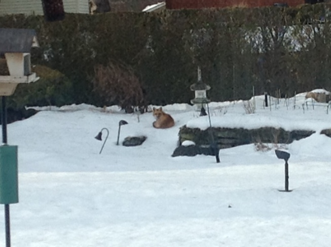 Fox in Backyard Sweaburg, Ontario Canada