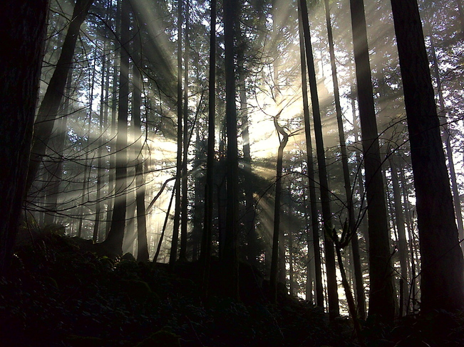 Sun shining on the fog through the trees Langford, British Columbia Canada