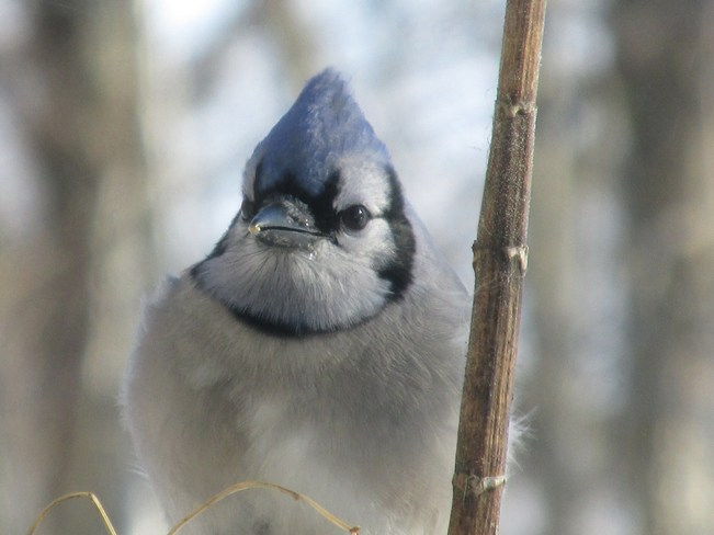 Blue Jay Closeup South Mountain, Ontario Canada