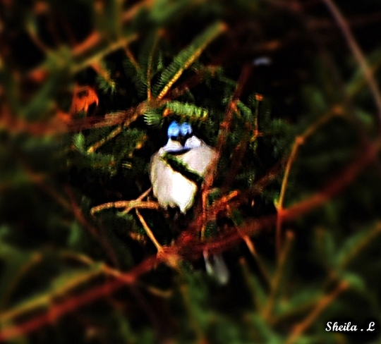Blue Jay Out Of The Wind Canning, Nova Scotia Canada