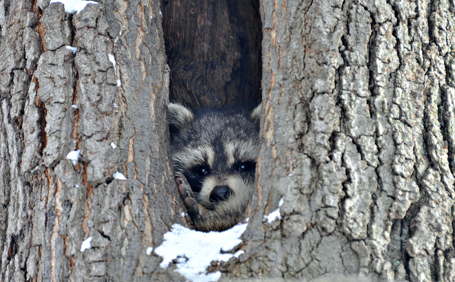 Raccoon hiding in tree from frigid weather Windsor, Ontario Canada