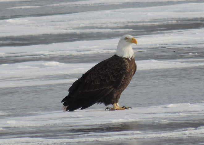 Bald Eagle - band on left leg Kingston, Ontario Canada