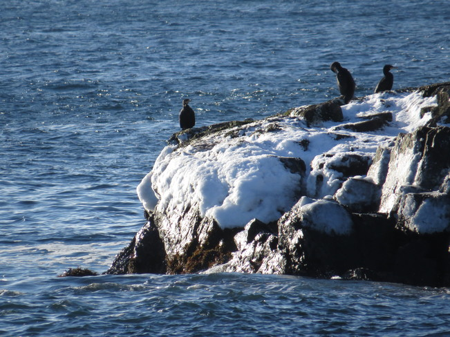 Shags in the sun Rock Harbour, Newfoundland and Labrador Canada