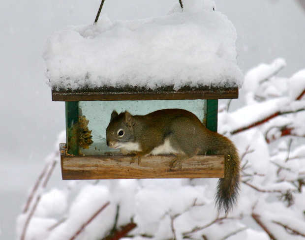 Squirrel Squirrel Revelstoke, British Columbia Canada
