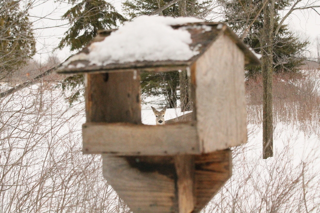 Rare & Elusive Tiny Deer Raids Bird Feeder! ;-) Kingston, Ontario Canada