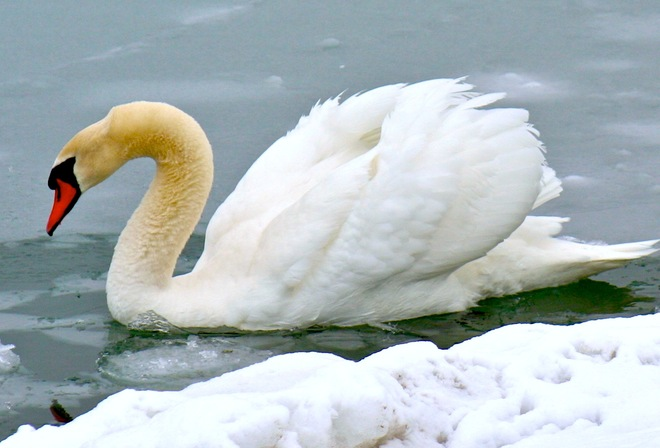 Fluffy Swan on the Lake Cobourg, Ontario Canada