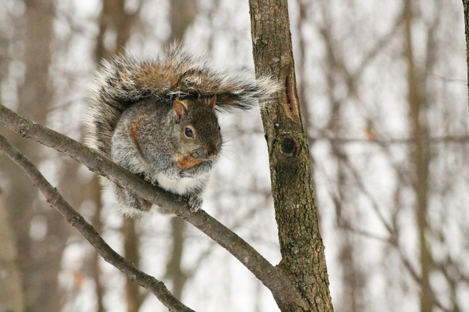 Grey Squirrel Kingston, Ontario Canada