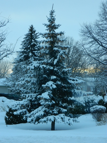 Snow on tree Bradford West Gwillimbury, Ontario Canada