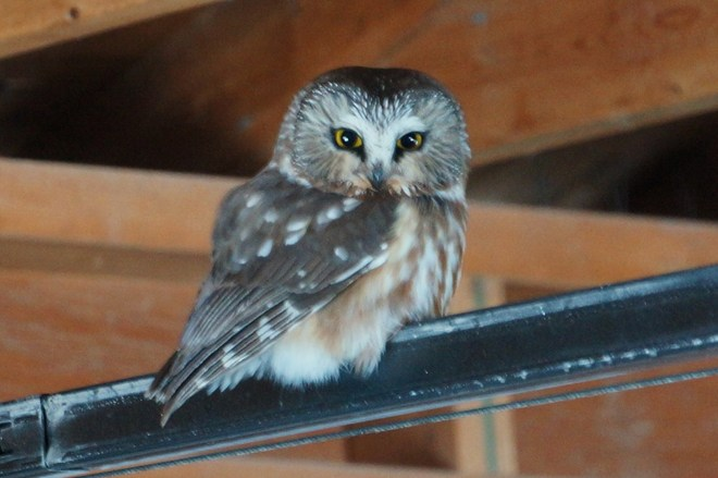 Northern Saw-Whet Owl Olds, Alberta Canada