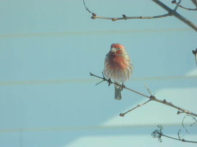 House Finch Bradford West Gwillimbury, Ontario Canada