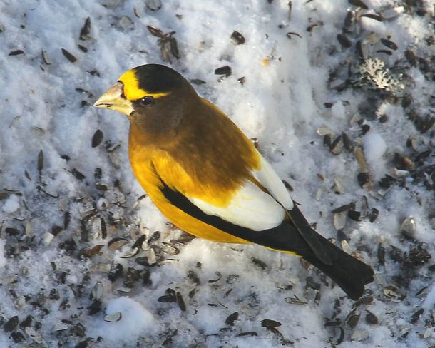 Male Evening Grosbeak Brighton, Ontario Canada