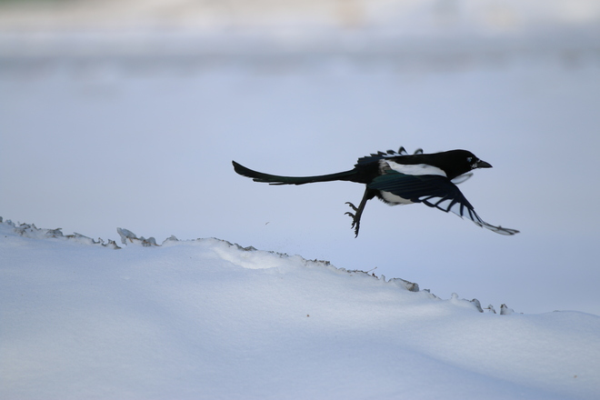 Magpie taking off Calgary, Alberta Canada