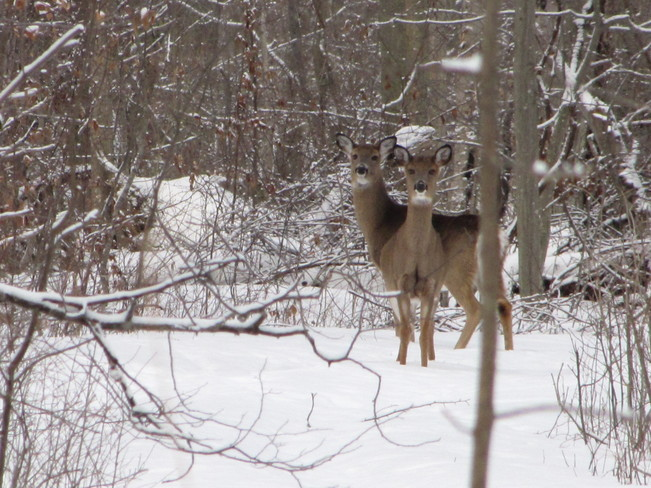 deer in the park Blenheim, Ontario Canada