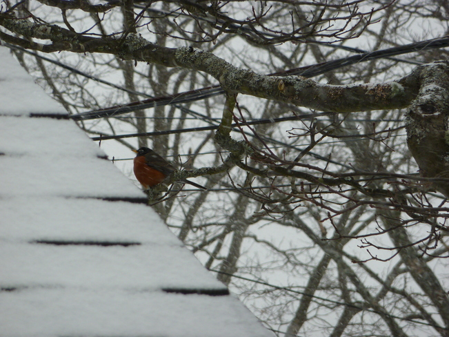 Robin in February? Halifax, Nova Scotia Canada