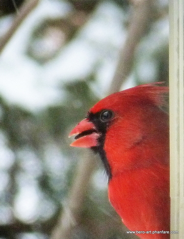 Mr.Cardinal on neighborhood waTCH Ottawa, Ontario Canada