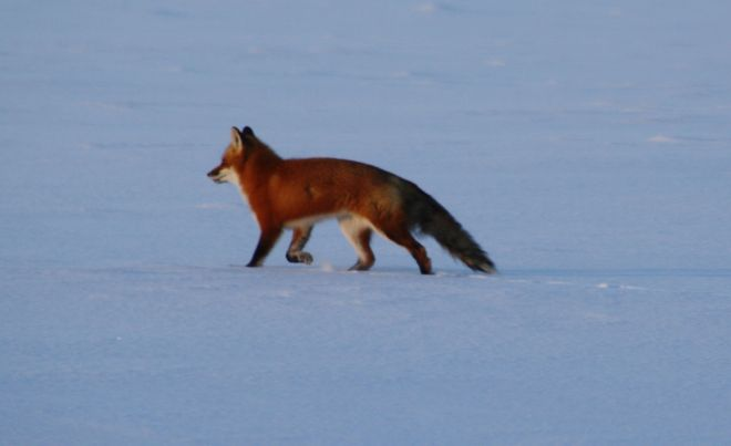Fox On Golf Course Rd Temiskaming Shores, Ontario Canada