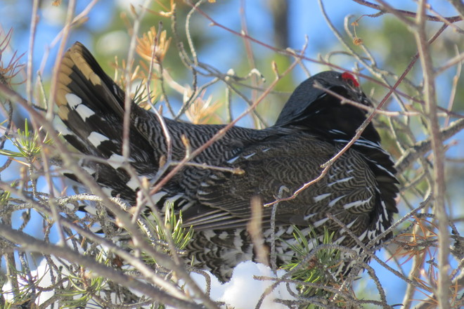 Spruce Grouse Timmins, Ontario Canada