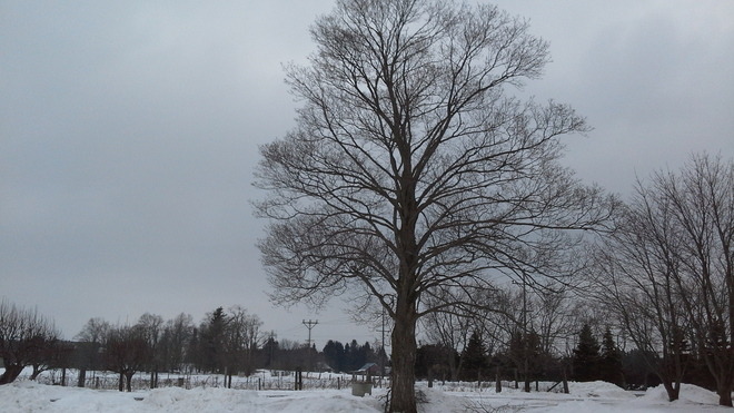 Nice Winter Tree Bowmanville, Ontario Canada