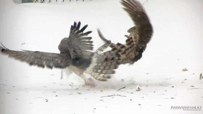 Cooper's Hawk vs Northern Harrier Tilbury, Ontario Canada
