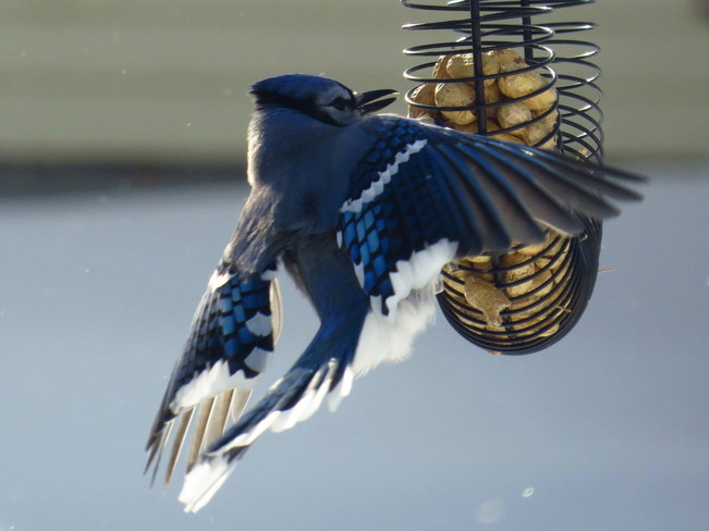 The Beauty Of A Blue Jay Espanola, Ontario Canada