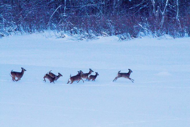 A group of Deer Stratford, Ontario Canada