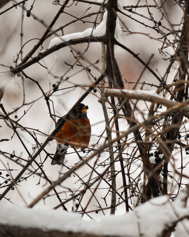 over-wintering robin London, Ontario Canada