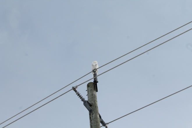 snow owl St. Catharines, Ontario Canada