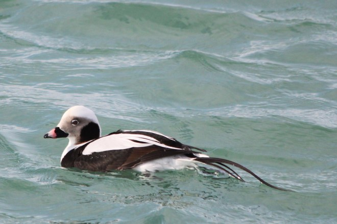 Long-Tailed Duck Whitby, Ontario Canada