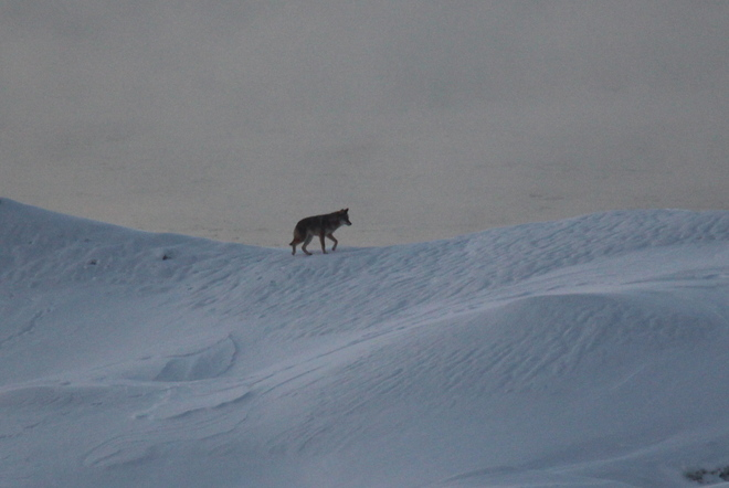 Wolf on Ice Cobourg, Ontario Canada