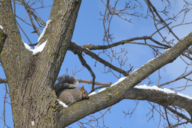 Grey squirrel St. Catharines, Ontario Canada