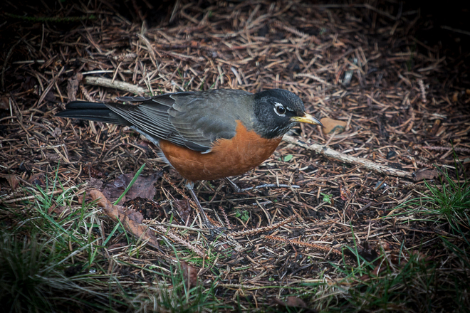 Robin in the yard. Nanaimo, British Columbia Canada