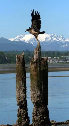 Fly Like an Eagle Courtenay, British Columbia Canada