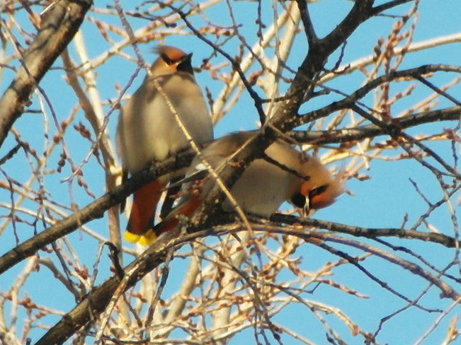 Happy Valentines day to come.2 waxwings enjoying the sun Calgary, Alberta Canada