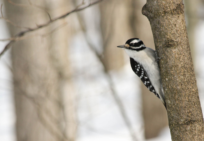 Hairy Woodpecker Kingston, Ontario Canada