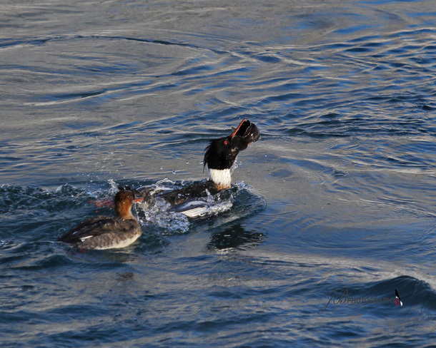 Pair of Red-breasted Merganser Port Colborne, Ontario Canada